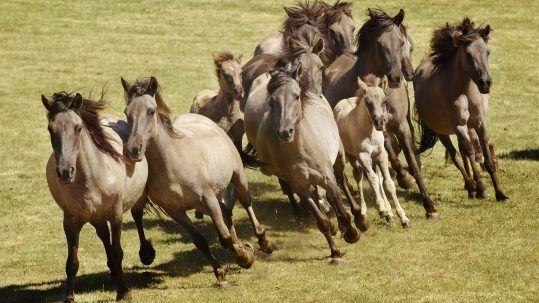 Münsterland Pferde