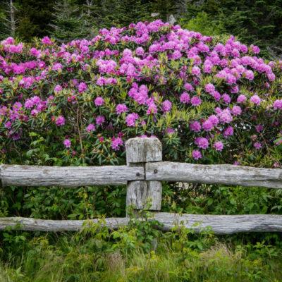 Rhododendron Busch