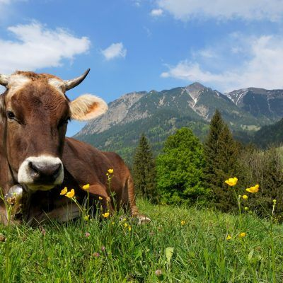 Alpine cow lying in the grass, Bavaria