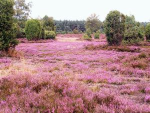 Blüte der gemeinen Besenheide in der Lüneburger Heide