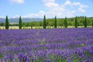 Blütezeit in der Provence