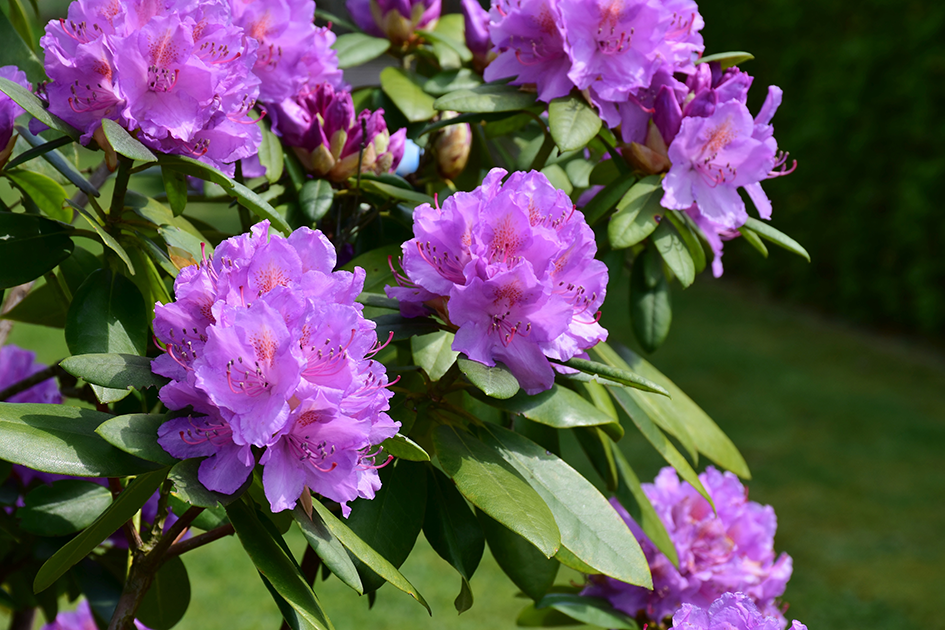 Rhododendronblüte im Ammerland