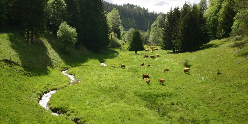 Weidevieh im Steinbachtal im Spessart